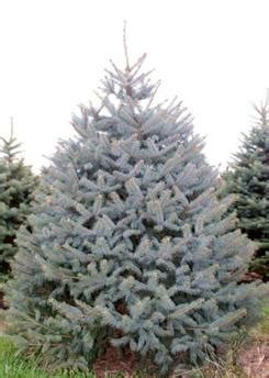 majestic spruce christmas tree hello there cherryville farms pittstown nj 2018 tree season