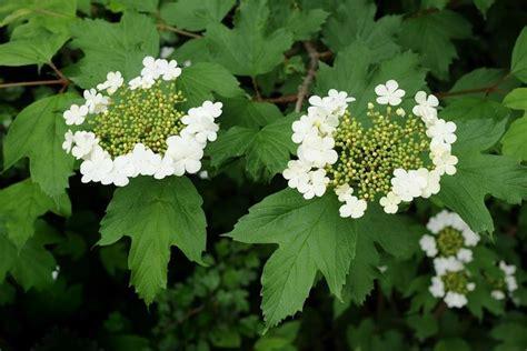 arbusto con fiori bianchi profumati viburno viburnum viburnum piante da giardino