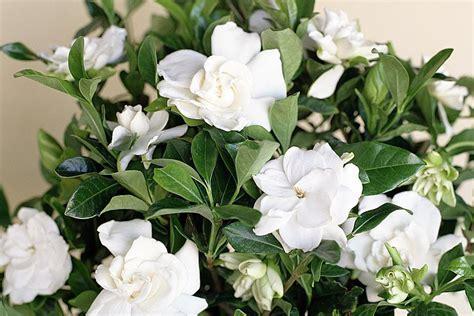 gardeniahow  grow gardenia indoors