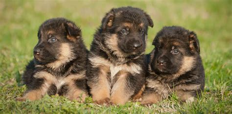 where to get a german shepherd puppy altenhof german shepherd puppies for sale