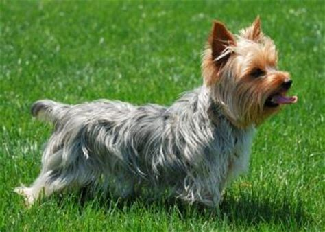 looking for a yorkie puppy terrier rescue lovetoknow