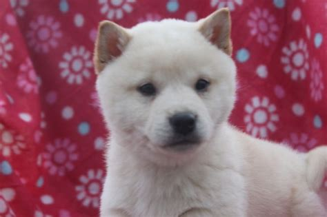 shiba inu puppies for sale nj 1000 images about shiba inu puppies for sale on shiba inu puppies for