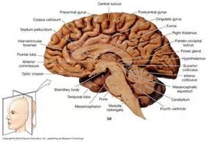 midsagittal diagram of human brain nervous much