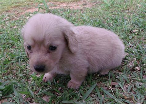 haired dachshund puppies for sale near me akc miniature haired dachshund puppies dogs in our photo