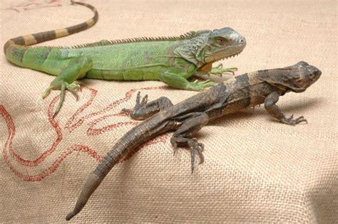Imagenes De Iguanas Verdes Y Negras | iguana verde e iguana negra hogarmania
