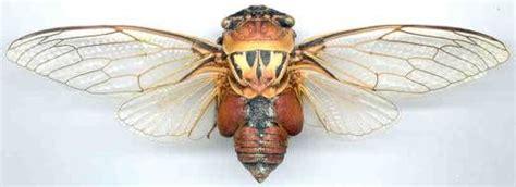 australian cicadas the cicadas of central eastern