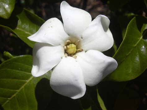 Gardenia Wiki Specie Di Gardenia