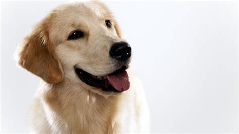 b golden retrievers golden retriever dogs 101 animal planet