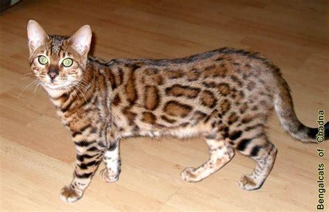 bengalcats katzen bengal kitten zchter leopardenkatzen