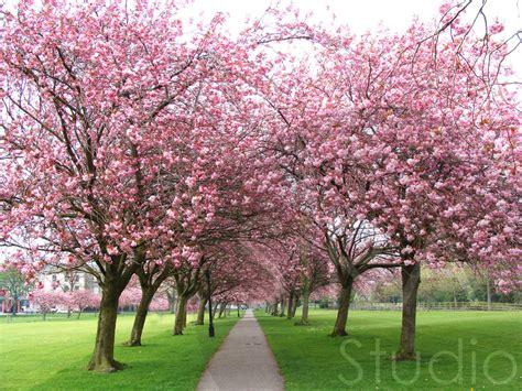 6 cherry tree walk sirastudio cherry tree walk