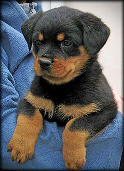 8 week rottweiler puppy ballardhaus rottweilers rottweiler breeders rottweiler puppies german