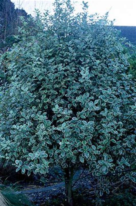 medium sized flowering shrubs pittosporum garnettii v agm dense bushy medium sized