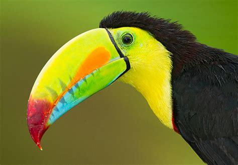 quetzals toucans hummingbirds costa rica greg downing photography