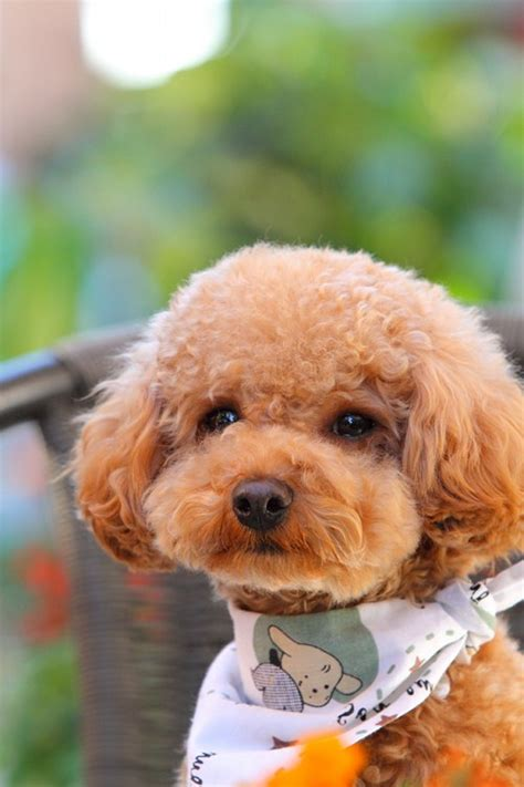 brown poodle puppy gallery brown mini poodle puppies