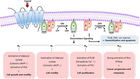 Engineering therapeutic antibodies targeting G-protein ... G Protein Coupled Receptors Pathway