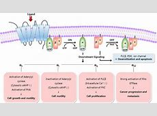 Engineering therapeutic antibodies targeting G-protein ... G Protein Coupled Receptors Gpcrs