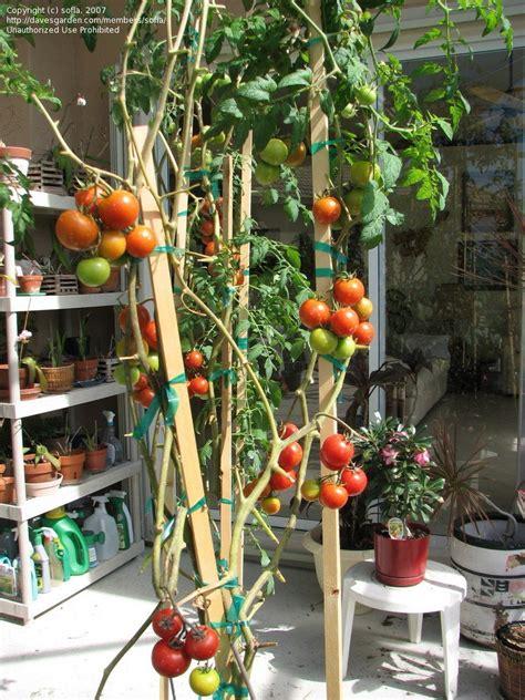 plantfiles pictures tomato greenhouse campari