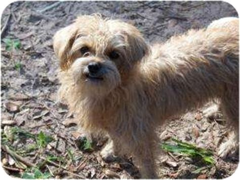 shih tzu terrier mix price kirby adopted leming tx norfolk terrier shih tzu mix