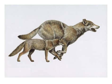 extinct dogs extinct ancestor eucyon and today s gray wolf giclee print at animals