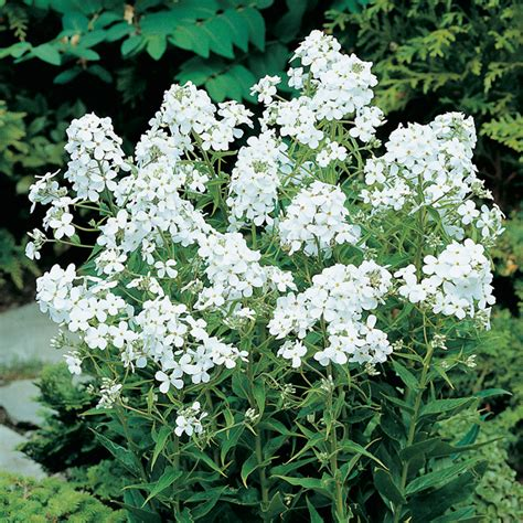 white flowering perennials 28 images evergreen white flowers and perennials on pinterest