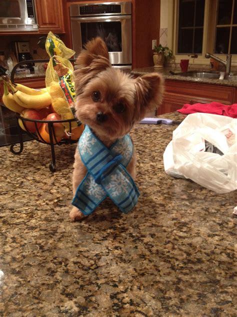 how will my yorkie live my yorkie in winter scarf aww