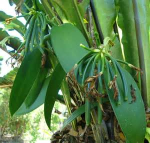 all online plants for sale vanilla plant vanilla planifolia