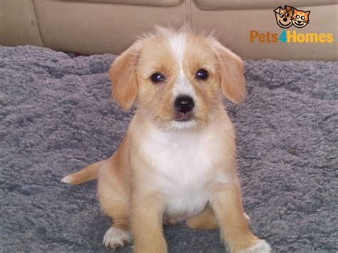 small mixed breed puppies small cross breed puppy ely cambridgeshire pets4homes