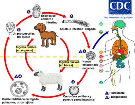 cadena epidemiologica fasciolosis ciclo biol 243 gico de echinococcus granulosus thinglink