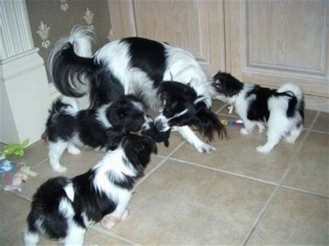 papillon havanese mix havallon breed information and pictures
