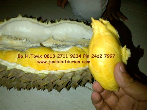 Bibit Mangga Mahatir Jogja bibit durian bawor yogyakarta bibit durian bawor bibit