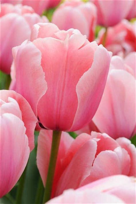 Vase Garden Tulipa Pink Diamond Single Late Tulip