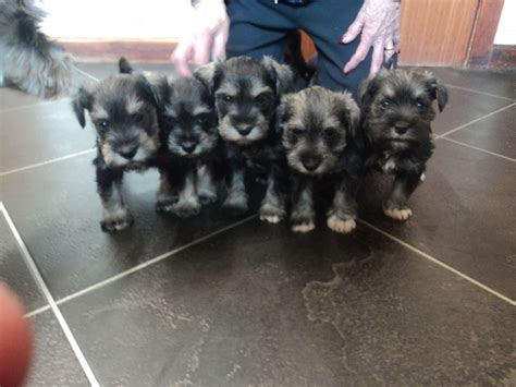 miniature schnauzer puppies for sale in michigan miniature schnauzer for sale michigan miniature schnauzer puppies breeds picture