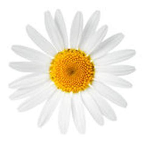 fiore della camomilla fiore della camomilla immagine stock immagine 34424201