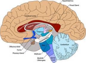 best 25 brain diagram ideas on pinterest