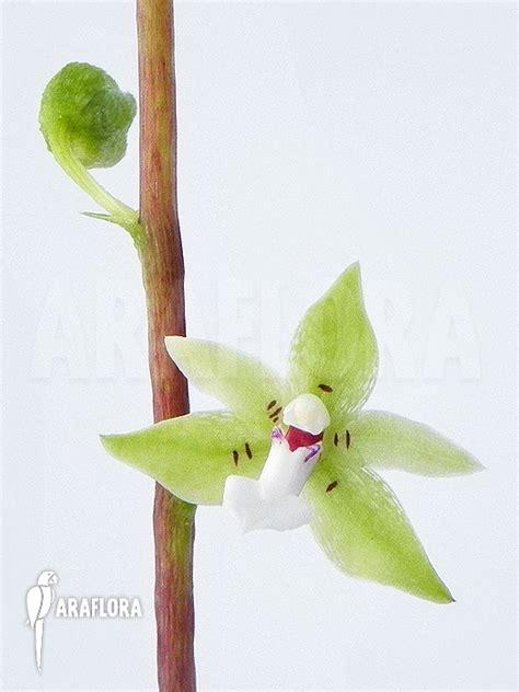 Panci Kalakat 40 Cm Orchid Limited 1 araflora flora more orchid species c