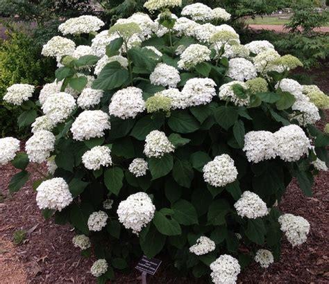 Bunga Hias Hydrangea tanaman white mophead hydrangea jual tanaman hias
