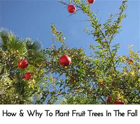 planting fruit trees in fall how why to plant fruit trees in the fall lil moo creations