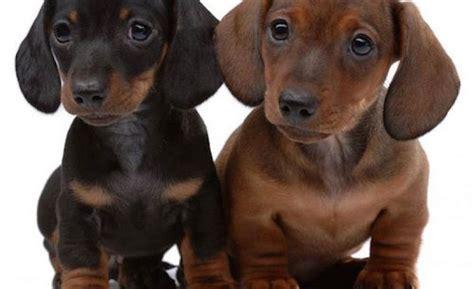 cani piccola taglia pelo corto da appartamento razze cani taglia piccola lista razze cani piccola taglia