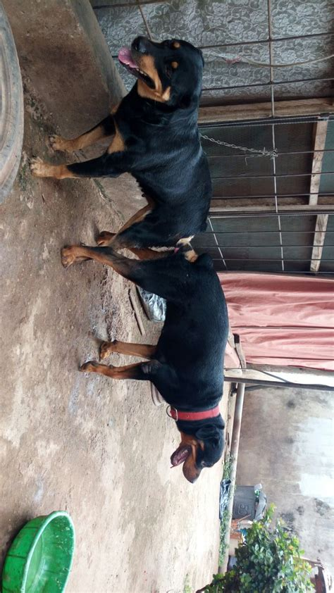 rottweiler for sale vic rottweiler puppies for sale how much dogs our friends photo