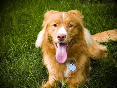 duck puppy scotia duck tolling retriever photo and wallpaper beautiful