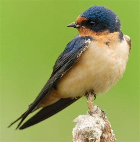 bird species barn swallow