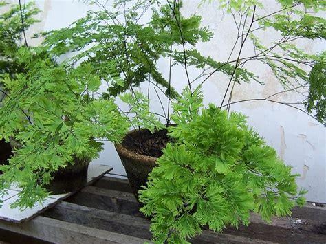 beberapa macam tanaman hias daun yang cantik dan cocok di