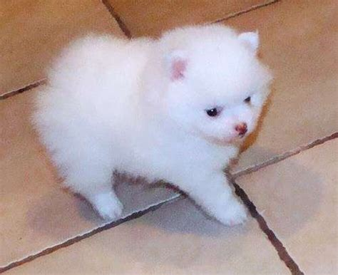 pomeranian puppies sydney teacup pomeranian puppies available with paper works for sale adoption from new south