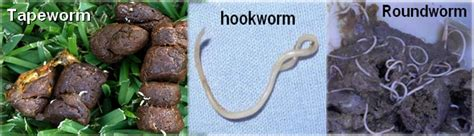 how do dogs get roundworms roundworms vs tapeworms in dogs images