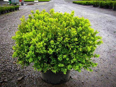 green velvet boxwood the tree center