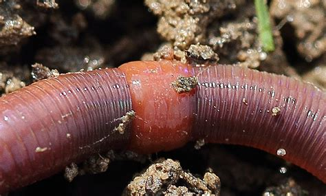 earthworm dissection clitellum alberta worm worm tracker of