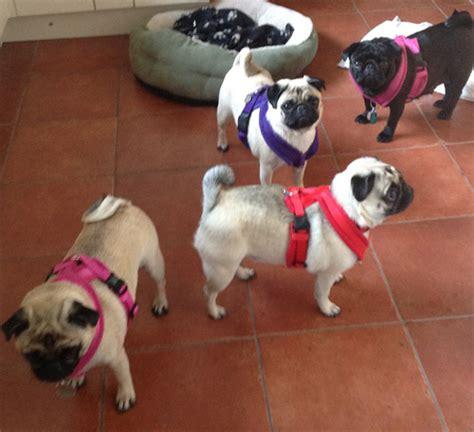 best harness for pugs edog fleece harness reviews shop