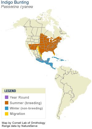 indigo bunting range map indigo bunting identification all about birds cornell lab of ornithology