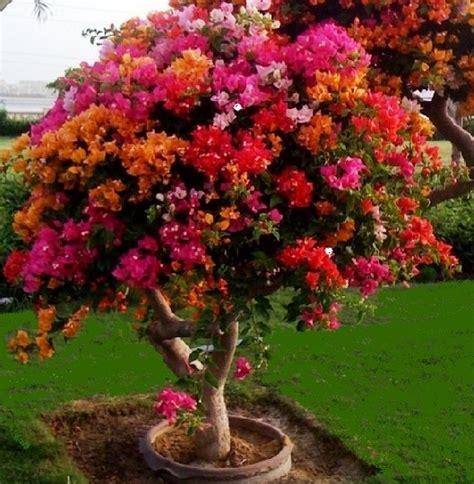 merawat bunga bougenville  berbunga lebat