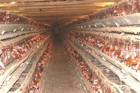 allevamento galline in gabbia occhio non vede pancia non duole sui ci di